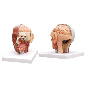 HUMAN HEAD MODEL WITH MUSCLES