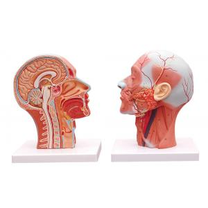 HUMAN HALF HEAD AND NECK WITH MUSCULATURE