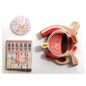 HUMAN EYE DEMONSTRATION MODEL