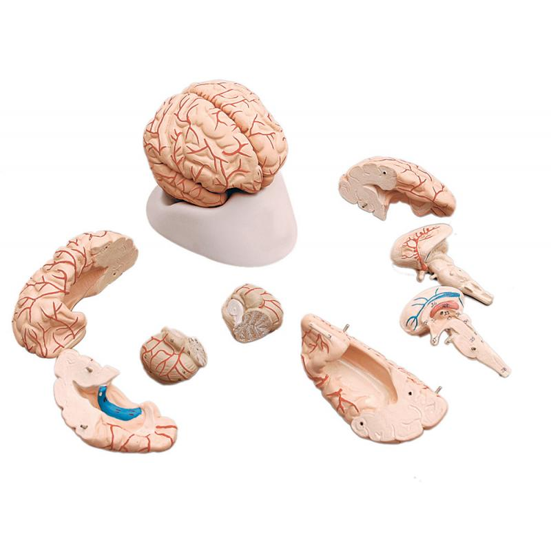 HUMAN BRAIN,WITH ARTERIES, DELUXE, 9 PARTS