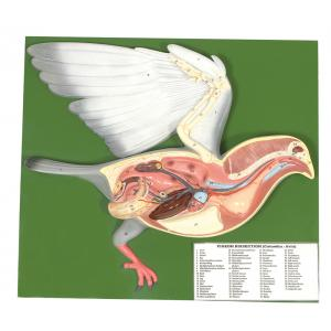 ARCO PIGEON DISSECTION
